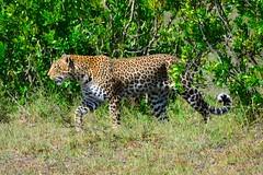 DDR_3817 Leopard (Santiago Sanz Romero) Tags: kenya wildlife animales ngc