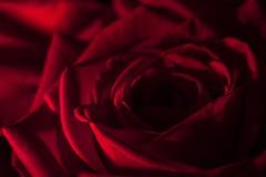 The illumination of lovers - die Beleuchtung der Verliebten (HMM !) (ralfkai41) Tags: macromondays litbycandlelight macro romance romantic love blossom plant pflanze blüte blume liebe romantisch romantik rose makro