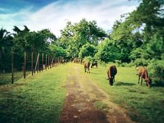 Panchor - http://4sq.com/rcx763 #green #nature #tree #grass #travel #holiday #holidayMalaysia #travelMalaysia #Asian #Malaysia #Malacca #大自然 #草 #树木 #旅行 #度假 #马来西亚旅行 #马来西亚度假 #亚洲 #马来西亚 #发现马来西亚 #自游马来西亚 #马六甲 #牛 #Cattle