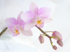 Orchidee (zum 2ten) - und schöne Weihnachten euch allen (uhu's pics) Tags: fujifilm fuji fujinon xpro xpro2 blume blumen flower flowers fleur fleurs knospen orchidee orchideen orchid orchids orchidée orchidées sinnlich sensual snsuel orchidaceae pflanze plant plante hell bright brillant highkey key high blüte blüten