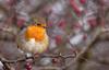 Robin... (Catherine Cochrane) Tags: robin bird birds nature wildlife outdoors light berries bushes festive uk erithacusrubecula canon plumage branch