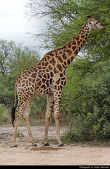 Giraffe, Kruger, NP, South Africa (JH_1982) Tags: giraffe giraffa 长颈鹿 기린 жирафы camelopardalis cape eating head neck tongue animal wildlife nature tier kruger np national park krugernationalpark parque nacional parc nazionale 克留格爾國家公園 クルーガー国立公園 национальный парк крюгера south africa rsa za südafrika sudáfrica afrique sud sudafrica 南非 南アフリカ共和国 남아프리카 공화국 южноафриканская республика جنوب أفريقيا