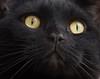 Longing looks...thinking about treats (abiward) Tags: cat britishshorthair closeup macro macrophotography black blackcat yellow yelloweyes beautiful handsome whiskers ilovemycat
