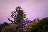 Backyard sunset (Wanda Amos@Old Bar) Tags: norfolkpine oldbar wandaamos backyard blossoms flora jacaranda sunset trees