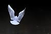 Angel (F VDS) Tags: gull pond forest landing dark tenebrism d500 nikon wings birdinflight bird