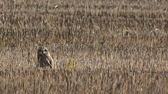 Coruja do nabal - Asio flammeus - Short Eared Owl (Jose Sousa) Tags: corujadonabal asioflammeus shortearedowl estuariodotejo portoalto avesjsousa ave aves avian bird oiseaux birds feathers penas avifauna birdwatching birdwatcher birding avesemportugal avesdeportugal birdsinportugal birdsfromportugal animal animals animais animales animaux nature natureza naturaleza natura vidaselvagem wild wildlife selvagem fauna animalia portugal