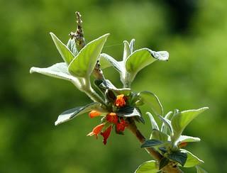 Himalayan wild flower - Western Himalayas ~2300m Altitude