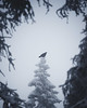 Raven in a snowy forest (Nippe16) Tags: winter moody atmosphere dark scary mood snow forest woods tree trees frost ice finland raven birding