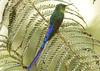 IMG_9462 Violet-tailed Sylph (suebmtl) Tags: ecuador pichinchaprovince birding bird hummingbird mindolindo mindo violettailedsylph aglaiocercuskingi