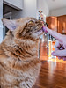 Oliver (dalecruse) Tags: sanfrancisco california unitedstates us oliver cat cats feline felines pet pets orange sf ca usa america flickr lightroom