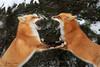 Best Of 2017 (Megan Lorenz) Tags: redfox fox animal mammal snow winter snowing pair two breeding behavior inheat interaction fighting nature wild wildlife wildanimals algonquiinprovincialpark ontario canada mlorenz meganlorenz