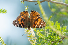 Downward facing painted lady (jim_mcculloch) Tags: dsc4914 butterflies lepidoptera