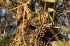 Leighton Moss (Josh R S) Tags: birds leightonmoss rspb silverdale wildlife wildlifephotography rspbleightonmoss nuthatch britishwildlife britishwildlifeimages wildlifeimages