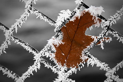 Frozen-Leaf (RickLev) Tags: 5d canada canon frost frozen ice levesque markii nature ontario ottawa photo photographer rick scenes sky snow trees winter beautiful photography
