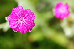 06 18 2017 Xx Raindrop Special [Explored] (srypstra) Tags: athome blossoms pink waterdroplets
