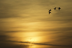 Ducks coming in for the night (EEngler) Tags: 2017 stcharlescounty duck ducks sunset migration