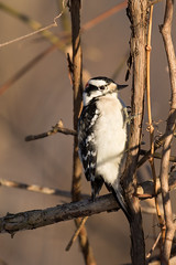 4330 (Eric Wengert Photography) Tags: downywoodpecker picoides picoidespubescens bird