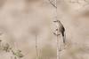 DSC_0142 (Kjell Arild Dokka) Tags: spurvefugler skriketroster tamariskskriketrost turdoides huttoni iran bandarabbas genu