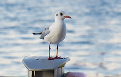 Migratory Birds (lightlyscented) Tags: migratorybirds migrantbirds migrant seagull seagulls creek dubaicreek migratory birds high highfly highflyer water sea group emirates emirati dubai uae