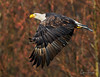 Eagle at Sunrise (Chris Parmeter Photography) Tags: bald eagle bird nature animal flying colors winter feathers detail washington canon 5dsr 300mm f28 14x tc