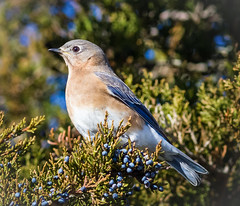 Feeding on Cedar Berries (tresed47) Tags: 2017 201711nov 20171129newjerseybirds birds bluebird canon400mmf56l canon7d content december ebforsythenwr fall folder newjersey peterscamera petersphotos places season takenby us