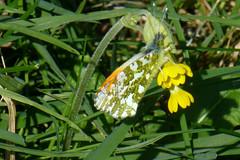 Orange Tip (M), Hampshire, England (east med wanderer) Tags: butterfly male orangetip hampshire england uk anthochariscardamines southdownsnationalpark