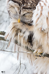 ''Chut...je rêve!'' Couette rayée-Barred owl strix varia (pascaleforest) Tags: animal oiseau brid owl hibou passion nikon nature wild wildlife québec canada plume dream rêve vivre life hiver winter