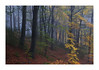 As England faces the winter (Laura Dryden) Tags: autumn fall woodland wood mist fog trees leaves october landscape beech forest countryside sheffield england uk canon eos500d 1740mmf4l