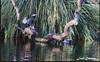 IMG_4596_Cormoran (Ajax_pt/Zecaetano) Tags: lago lake cormoran corvomarinho ducks patos