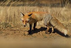 Red Fox (Zahoor-Salmi) Tags: zahoorsalmi salmi wildlife pakistan wwf nature natural canon birds watch animals bbc flickr google discovery chanals tv lens camera 7d mark 2 beutty photo macro action walpapers bhalwal punjab