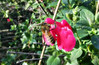 Sage honey (TJ Gehling) Tags: insect hymenoptera bee apidae honeybee apis plant flower lamiales lamiaceae sage salvia hillsidenaturalarea elcerrito