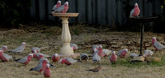 "I didn't tell any one ""HONEST"" (Griffins Photos) Tags: galah pinkandgrey pink grey parrot australian nature birds eating grass"