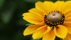 Rudbeckia (Visual Stripes) Tags: flower rudbeckia yellow macro 35mmmacro mzuiko olympusepm1 handheld bokeh