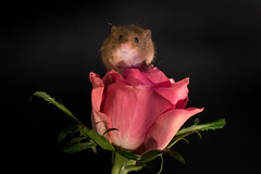 harvest mouse (colin 1957) Tags: harvestmouse rose flower 1001nights