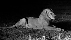 IMGP0104 The Sphinx (Claudio e Lucia Images around the world) Tags: lion leone zambia southluangwa chamilandu bushcompany savana carnivore bigcat tooth teeth pentax africa safari africansafari animale erba pentaxk30 pentax60250 blackandwhite bw nightshot