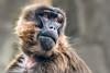Wistful   [In Explore 12/28/17] (helenehoffman) Tags: africa africarocks theropithecusgelada monkey mammal gelada oldworldmonkey conservationstatusleastconcern ethiopianhighlands sandiegozoo animal zoosofnorthamerica coth5 fantasticnature