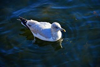 THE SWIMMING BIRD