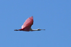 Roseate Spoonbills (c) 2017 Dr Lester Shalloway all rights reserved; at Paurotis Pond in the South Everglades