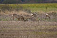 Roe Deer - (Capreolus capreolus) EXPLORED (hunt.keith27) Tags: roe deer capreoluscapreolus chevreuil small elegant with summer coat reddish brown distinguisheddeer