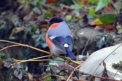 Eurasian bullfinches (James L Taylor) Tags: pair pyrrhula split between front back garden this morning 291217 eurasian bullfinches december birding avian wildlife