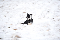 Collie Heaven (JJFET) Tags: border collie dog sheepdog