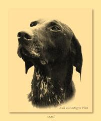 Maxi (Oul Gundog) Tags: german shorthaired pointer deutsch kurzhaar dogs gundogs showdogs old pics northern ireland uk ulster memorys archive