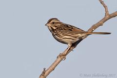 Song Sparrow (Matt Shellenberg) Tags: song sparrow songsparrow riverlands migratory sanctuary riverlandsmigratorybirdsanctuary