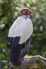 Perched king vulture (Tambako the Jaguar) Tags: kingvulture vulture colorful bird profile portrait perched branch tree berlin tierpark germany nikon d5 explore