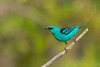 Dacnis cayana / Saí-azul / Blue Dacnis (jguto) Tags: dacniscayana saíazul bluedacnis birdsofamazonia avesdaamazônia avesdoamapá birdsofamapá