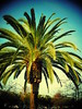 Palm (earthdog) Tags: 2017 nikon coolpix s7000 nikoncoolpixs7000 tree palmtree palm sanjose