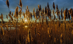 Scarborough Marsh, Maine (jtr27) Tags: dscf4537xl jtr27 fuji fujifilm xt20 trans rokinon samyang 16mm f2 f20 wideangle manualfocus scarborough marsh reeds maine newengland