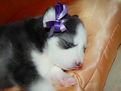 Husky puppy (Wrabitt / Thanks all followers...) Tags: pet cachorro cuchioli husky baby perro can perrito doggy dog cane siberiano siberian