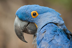 Macaw. (LisaDiazPhotos) Tags: macaw lisadiazphotos sdzsafaripark sdzoo sdzsp sandiegozoo sandiegozooglobal sandiegozoosafaripark sandiegosafaripark