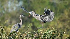 Great blue heron Nesting (Raymond J Barlow) Tags: florida nature wildlife workshop heron great greatblue birdinflight nest